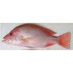 FRESH FISH AND OTHER PRODUCT FROM FISH