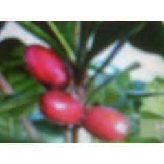 Bibit Buah Ajaib ( Miracle Fruits)