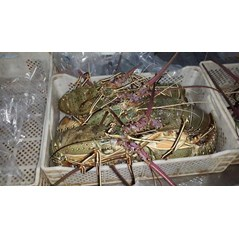 Green spiny Lobster ( pakistan)