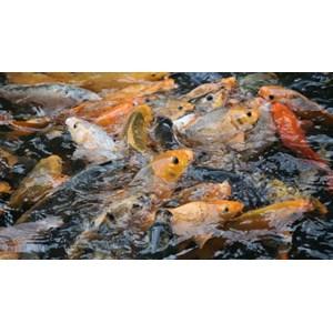 Daftar Perusahaan Jual Budidaya Ikan Murah | Indonetwork
