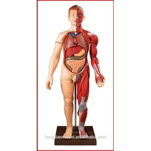Model Anatomi