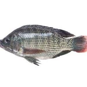 Daftar Perusahaan Jual Ikan Tawar - Harga Terbaru 2021 | Indonetwork