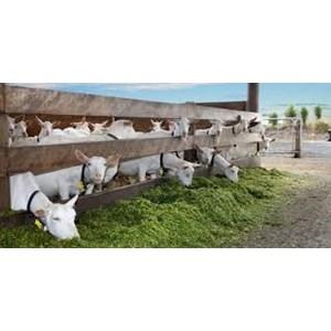 Supplier & distributor peternakan kambing