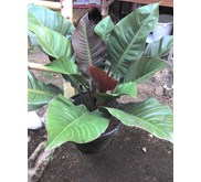 Philodendron Red Emerald sp.