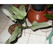 Philodendron Hastatum (Blue Philodendron)