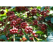Sell Arabica Coffee Bean from Tana toraja Indonesia