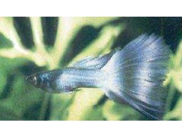 Jual Fancy guppy blue Mocsow