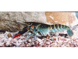 Jual LOBSTER - Red Claw (Cherax quadricarinatus)