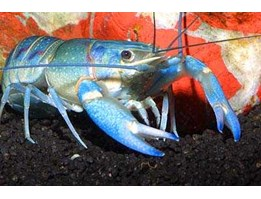 Jual Cherax Quadricarinatus / Red Claw