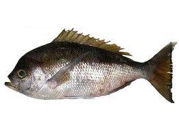 Jual Abe snapper