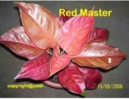 Red Master Calon Induk