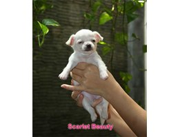 Jual Imperial Scarlet Beauty (Betina)