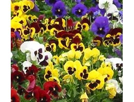 Jual Pansy Swiss Giant Mix 30seeds