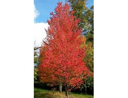 Jual Red Maple 10seeds