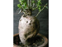 Pacypodium bispinosum.......Sold-out Thank you