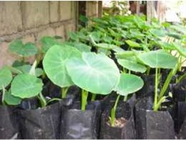 BIBIT TALAS SATO IMO ( Colocasia Esculenta var Antiquarum)