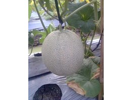 Jual Melon Carribean
