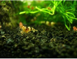 Jual CBS ( Crystal Black Shrimp)