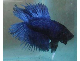 Ikan Cupang Double Tail Blue Dragon SOLD