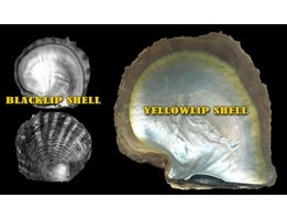 Jual SEA SHELLS ( for button)