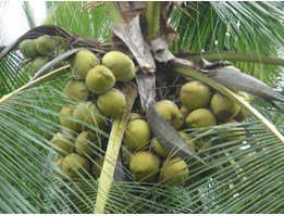 Jual coconut product