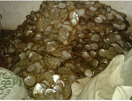 Jual Sell Raw Cultured Mother Of Pearl ( MOP) Shell