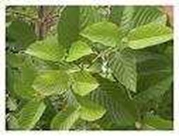 Jual daun katum or leaves katum