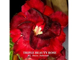 Jual Triple Beauty Rose