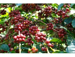 Jual Sell Arabica Coffee Bean from Tana toraja Indonesia
