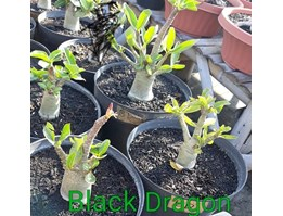 Jual Black Dragon (mixed hybrid)