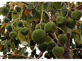 Sell Candlenut from Tana toraja South Sulawesi Province Indonesia