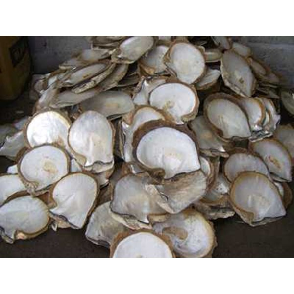 mother of pearl nature shell indonesia