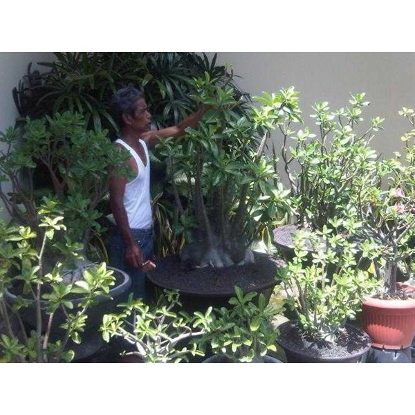 arabicum giant size ( only for bali)