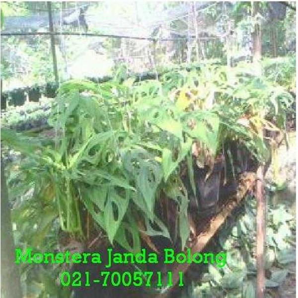 tanaman janda bolong/ monstera