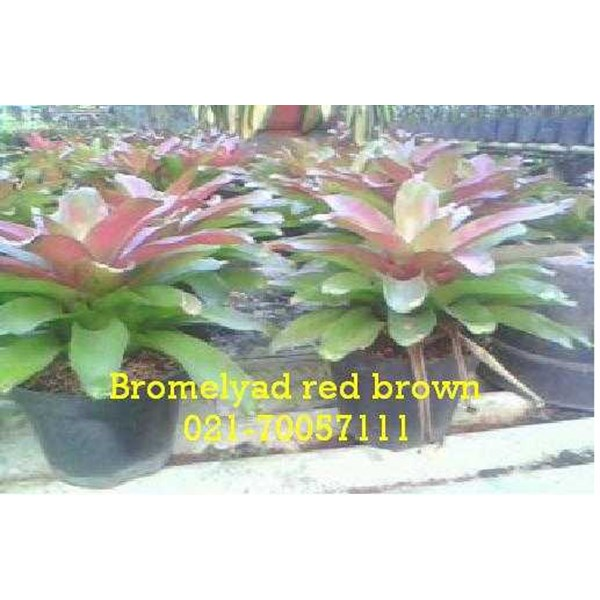bromelyad red brown