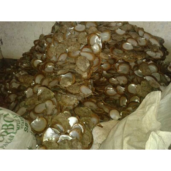 sell raw cultured mother of pearl ( mop) shell