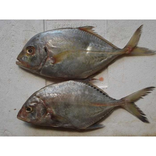 supplier ikan laut segar-6