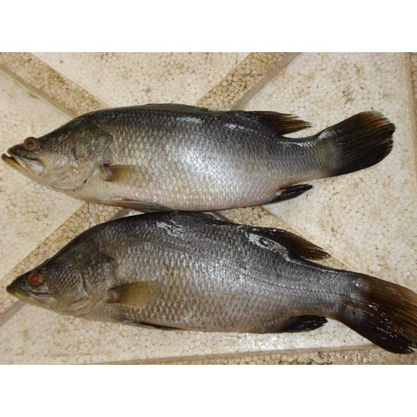 supplier ikan laut segar-4