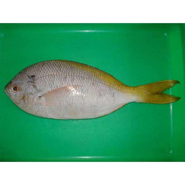 supplier ikan laut segar-7